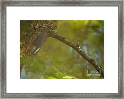 Female Nuthatch Framed Print by Graham Foulkes