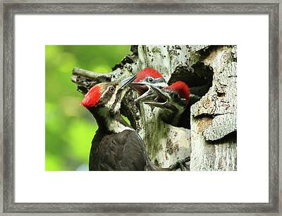 Female Pileated Woodpecker At Nest Framed Print by Mircea Costina Photography