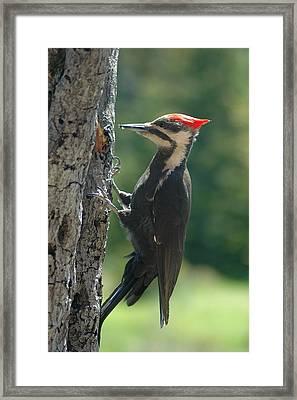 Female Pileated Woodpecker Framed Print by Sandra Updyke