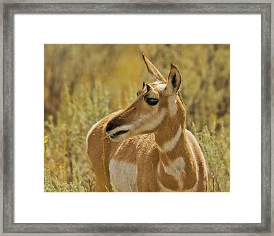Female Pronghorn, Lamar Valley Framed Print by Michel Hersen