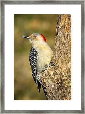 Female Red-bellied Woodpecker Framed Print by Bill Wakeley