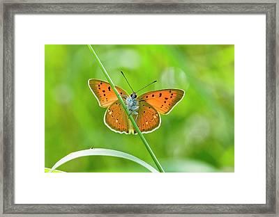 Female Scarce Copper Butterfly Framed Print by Bob Gibbons