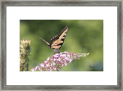 Female Tiger Butterly-1-featured In Macro-comfortable Art And Newbies Groups Framed Print by EricaMaxine  Price