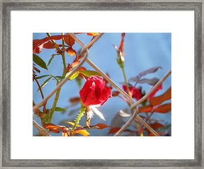 Fenced Rose Bud Framed Print by Belinda Lee