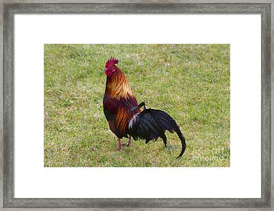 Feral Rooster Framed Print by Mike  Dawson