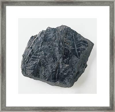 Fern Leaf Fossil From Coal Seam Framed Print by Dorling Kindersley/uig