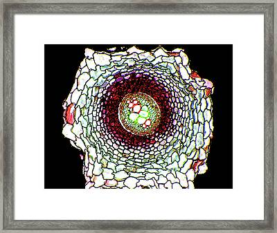 Fern (pteridium Aquilium) Root Framed Print by Dr Keith Wheeler