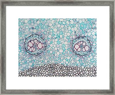 Fern Pteridium Rhizome, Lm Framed Print by Garry DeLong