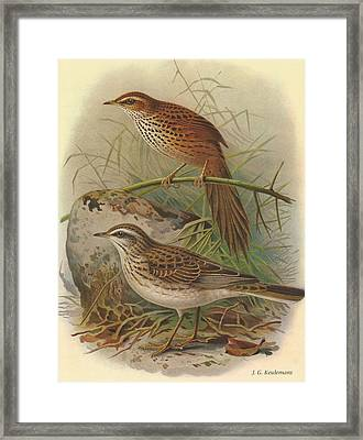 Fernbird And New Zealand Pipit Framed Print by J G Keulemans