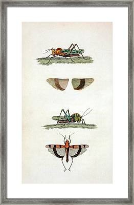 Field Crickets Framed Print by General Research Division/new York Public Library