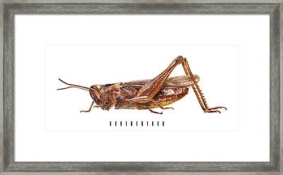 Field Grasshopper Framed Print by Natural History Museum, London
