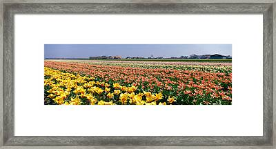 Field Of Flowers, Egmond, Netherlands Framed Print by Panoramic Images