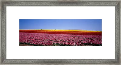 Field Of Flowers, Near Encinitas Framed Print by Panoramic Images