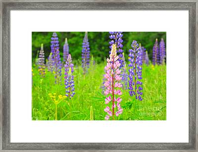 Field Of Lupine's Framed Print by Catherine Reusch  Daley