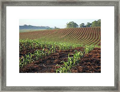 Field Of Maize Framed Print by Jim West