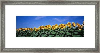 Field Of Sunflowers, Bogue, Kansas, Usa Framed Print by Panoramic Images