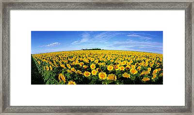 Field Of Sunflowers Kansas Usa Framed Print by Panoramic Images