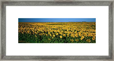 Field Of Sunflowers Nd Usa Framed Print by Panoramic Images