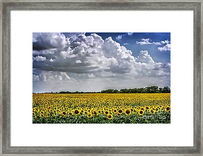 Field Of Sunflowers Framed Print by Tamyra Ayles