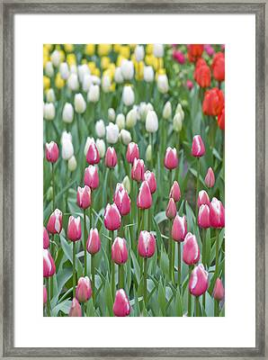 Field Of Tulips Framed Print by Juli Scalzi