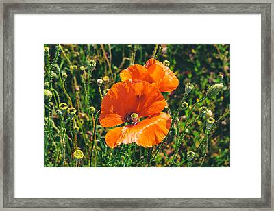 Field Poppies Framed Print by Georgia Fowler