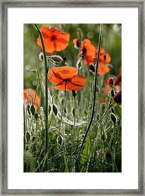 Field Poppy (papaver Rhoeas) Flowers Framed Print by Bob Gibbons