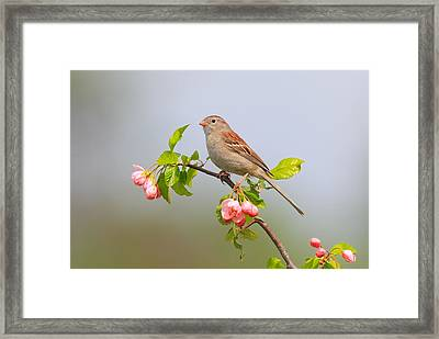 Field Sparrow On Apple Blossoms Framed Print by Daniel Behm
