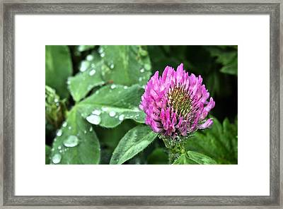 Fields Of Clover Framed Print by JC Findley