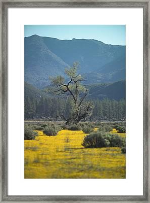 Fields Of Yellow Foxglove Framed Print by Scott Campbell