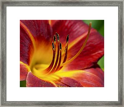 Fiery Lily Framed Print by Rona Black
