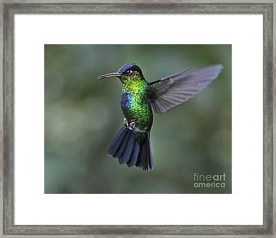 Fiery-throated Hummingbird..  Framed Print by Nina Stavlund