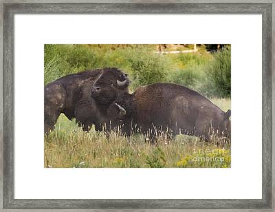 Fighting Bison Framed Print by Mike Cavaroc