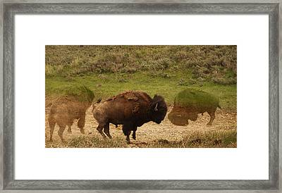 Fighting Buffalo Framed Print by Dan Sproul
