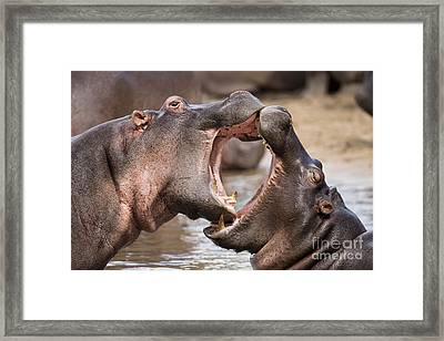 Fighting Hippos Framed Print by Richard Garvey-Williams