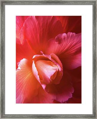 Fire And Ice Floral Begonia Framed Print by Jennie Marie Schell