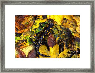 Fire Salamander Framed Print by Art Wolfe