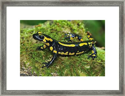 Fire Salamander Switzerland Framed Print by Thomas Marent