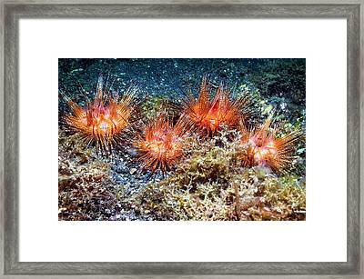 Fire Urchins Framed Print by Georgette Douwma