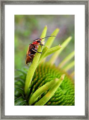 Firefly Lightning Bug Grabs A Snack Before Work Framed Print by Christina Rollo