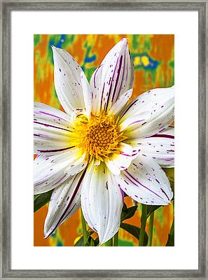 Fireworks Dahlia White And Pink Framed Print by Garry Gay