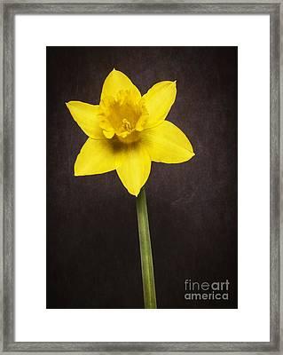 First Spring Daffodil Framed Print by Edward Fielding