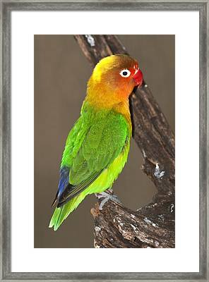 Fischer's Lovebird Framed Print by Science Photo Library