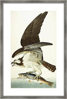 Fish Hawk Framed Print by John James Audubon