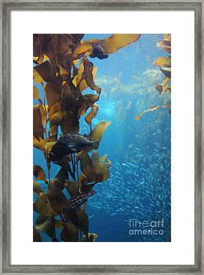 Fish Hiding In Kelp On The Ocean Floor 5d24849 Framed Print by Wingsdomain Art and Photography
