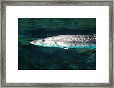 Fish - National Aquarium In Baltimore Md - 1212131 Framed Print by DC Photographer