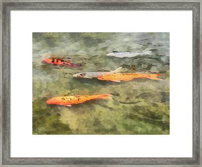 Fish - School Of Koi Framed Print by Susan Savad