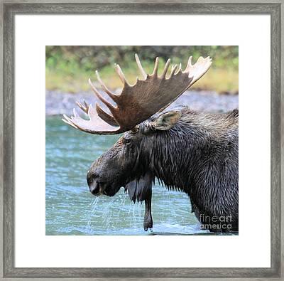 Fishercap Moose Framed Print by Adam Jewell