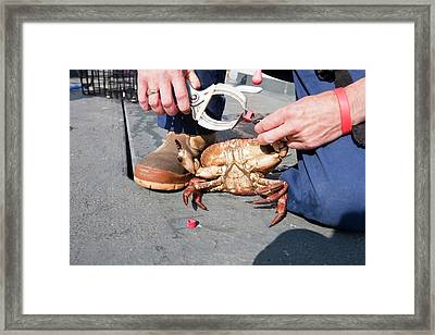 Fisherman With Rubber Bands Framed Print by Ashley Cooper