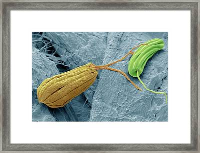 Flagellate Protozoa Framed Print by Steve Gschmeissner