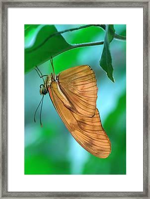 Flambeau Butterfly Framed Print by Nigel Downer